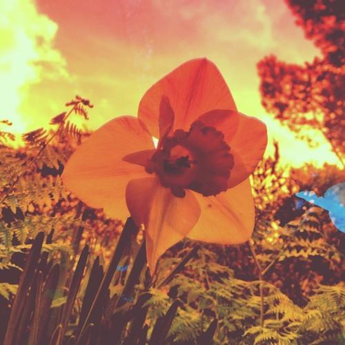 Tambo Rays flower